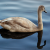 Cygnet Almost Fully Grown | September 26, 2009  thumbnail