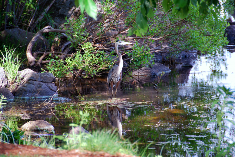 Great Blue Heron | June 1, 2008