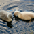 Two Cygnets--Late This Year | July 13, 2008  thumbnail