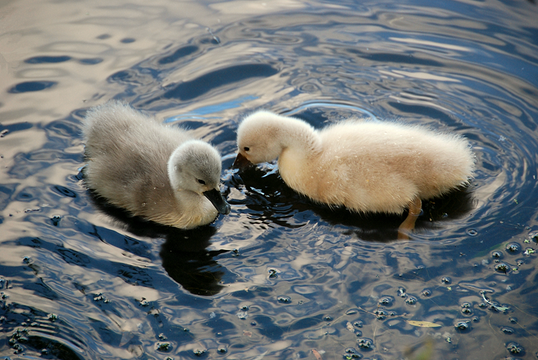 Two Cygnets--Late This Year | July 13, 2008