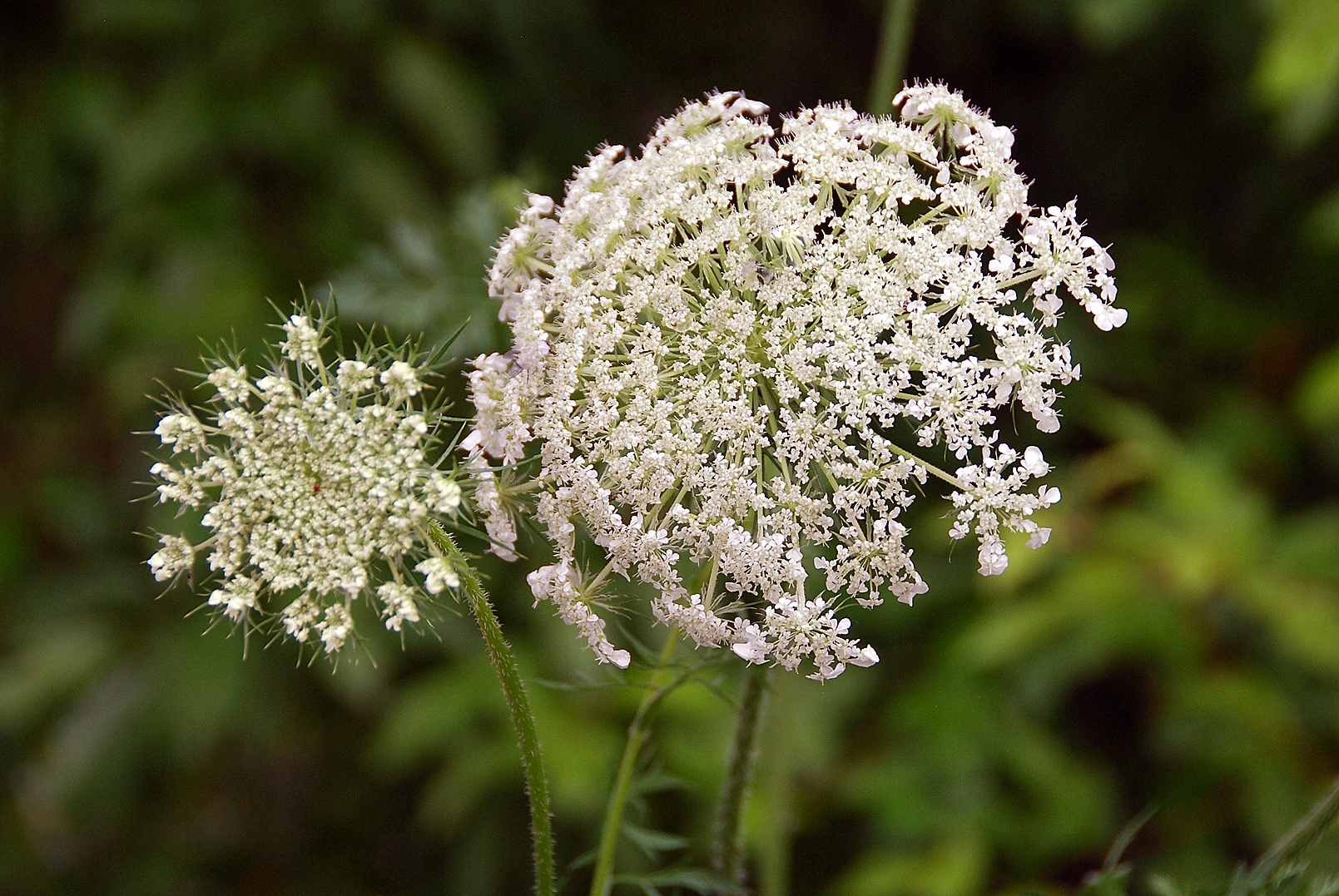 Queen Annes Lace White Ivory Flowers