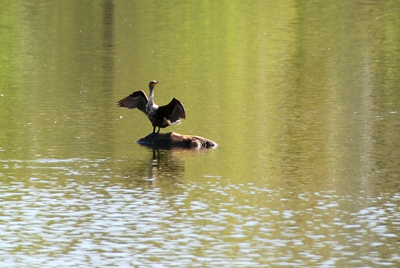 Cormorant Drying Wings | May 10, 2013