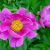 3. Chinese (Tree) Peonies | June 7, 2014 thumbnail