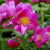 5. Chinese (Tree) Peonies | June 14, 2014 thumbnail