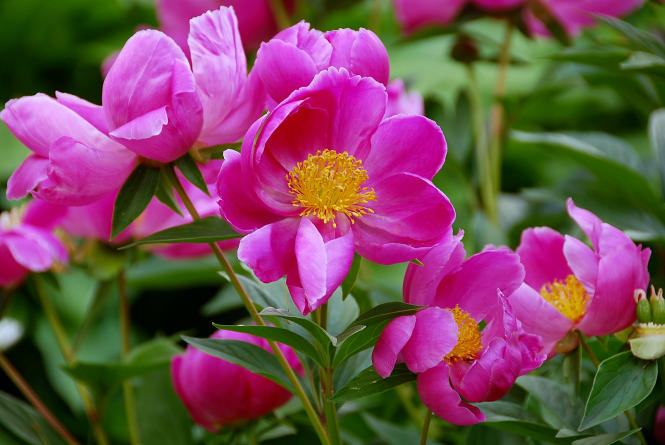 5. Chinese (Tree) Peonies | June 14, 2014